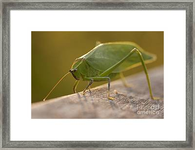 Broad-winged Katydid Framed Print