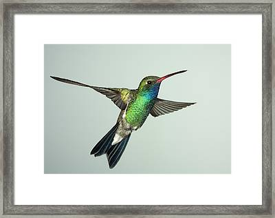 Broadbill Hummingbird Alternate Wing Pose Framed Print