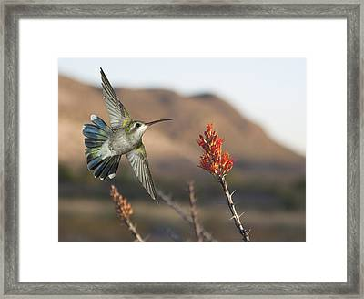 Broadbill Hummingbird And Octicillo Framed Print