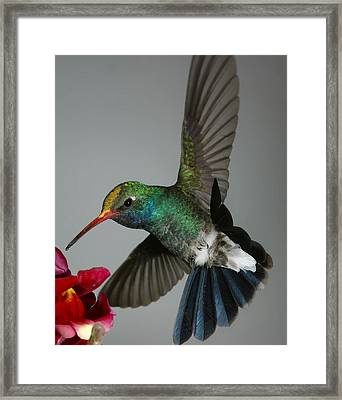 Broadbill Hummingbird With Pollen Cap Framed Print