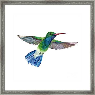 Broadbilled Fan Tail Hummingbird Framed Print by Amy Kirkpatrick