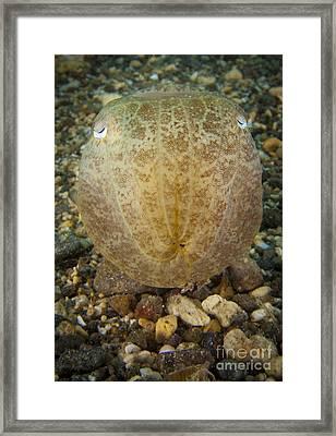 Broadclub Cuttlefish, Head On View Framed Print by Steve Jones