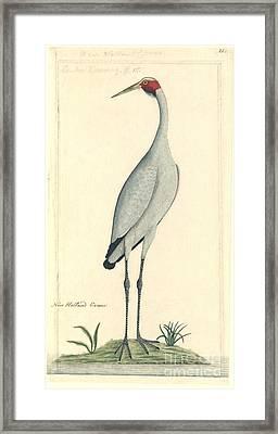 Brolga, 18th Century Framed Print by Natural History Museum, London