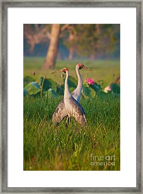 Brolga Pair Framed Print by Mardi Harrison