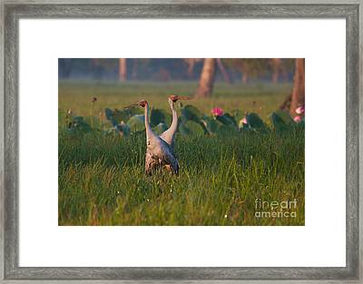 Brolga's Framed Print by Mardi Harrison