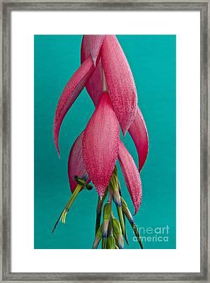 Bromelia Bilbergia Windii Framed Print by Heiko Koehrer-Wagner