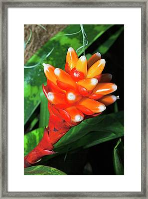 Bromelia Guzmania Framed Print