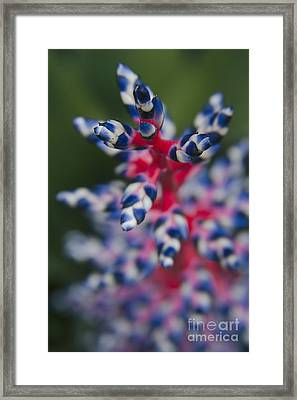 Bromeliad - Aechmia Dichlamydea - Guzmania Lingulata Framed Print