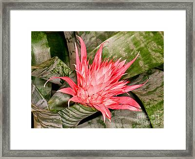Bromeliad Flower Aechmea Framed Print by Millard H. Sharp