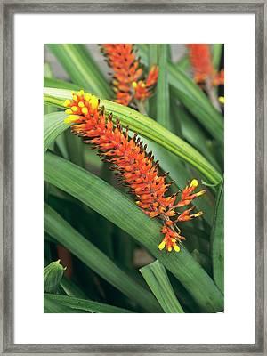 Bromeliad Flower Framed Print