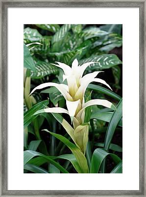 Bromeliad Flower (guzmania Sp.) Framed Print