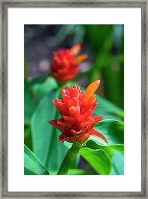 Bromeliad, Flower, Honolulu, Oahu Framed Print