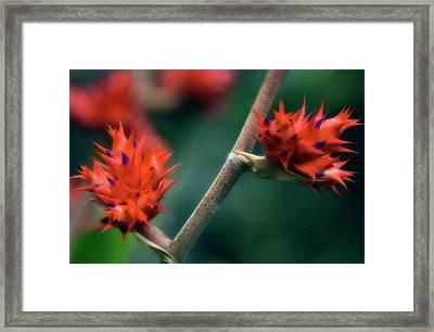 Bromeliad (hohenbergia Stellata) Framed Print