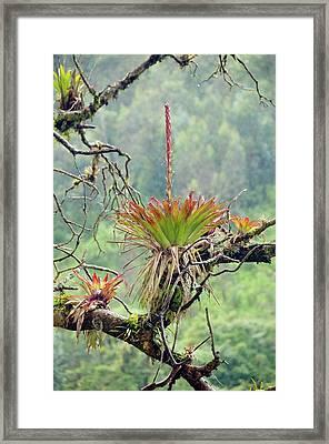 Bromeliad In Flower Growing On A Tree Framed Print