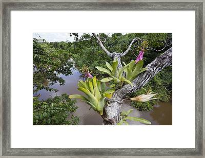 Bromeliad Pair Flowering Pacaya Samiria Framed Print by Cyril Ruoso