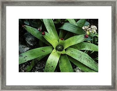 Bromeliad Plant (neoregelia Cruenta) Framed Print