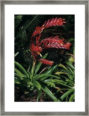 Bromeliad Plant (vriesea Poelmanii) Framed Print