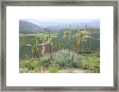 Bromeliad (puya Aequatorialis) Framed Print