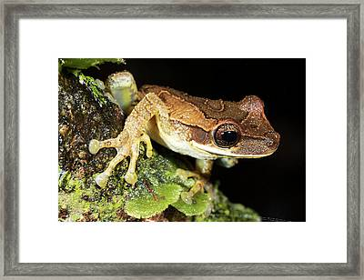 Bromeliad Treefrog Framed Print by Dr Morley Read