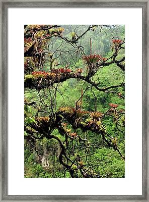 Bromeliads Growing On A Tree Framed Print