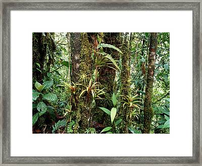 Bromeliads Growing On Trees In Rainforest Framed Print