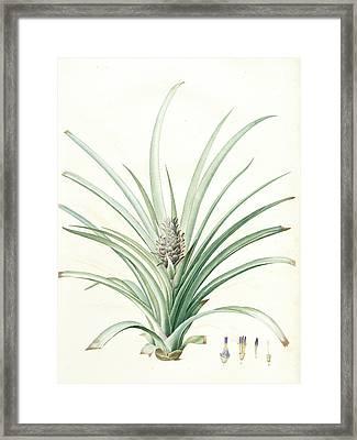 Bromella Ananas, Ananas Sativus Bromella Cultivé Pineapple Framed Print by Artokoloro