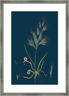 Bromus Madritensis Upright Annual Brome-grass Framed Print by English School