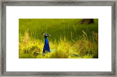 Bronx Zoo Peacock Framed Print