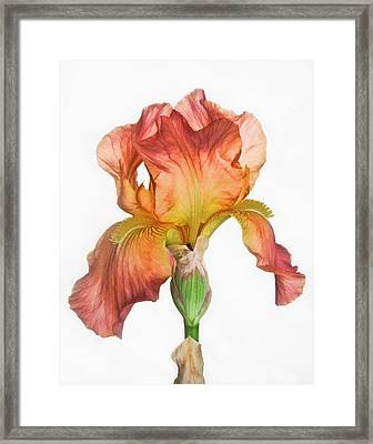 Bronze Iris Framed Print by David and Carol Kelly