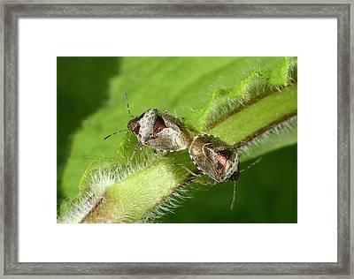 Bronze Shieldbugs Mating Framed Print by Nigel Downer