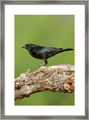 Bronzed Cowbird (molothrus Aeneus Framed Print by Larry Ditto