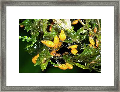 Brood Of Hemipteran Bug Nymphs Framed Print