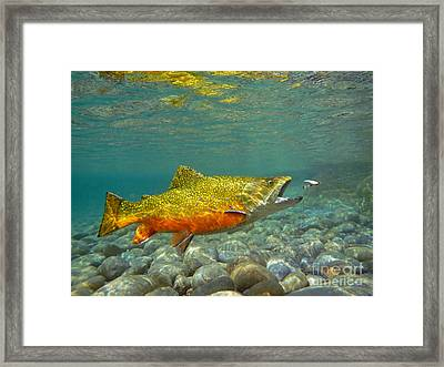 Brook Trout And Coachman Wet Fly Framed Print
