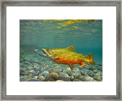 Brook Trout And Royal Coachman Framed Print