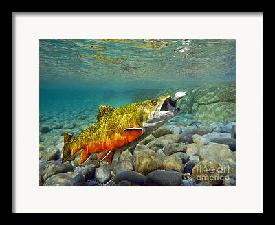 Brook Trout Image Mixed Media Framed Prints