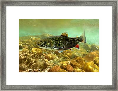 Brook Trout Framed Print by IM Spadecaller