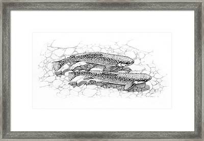 Brook Trout Pencil Study Framed Print