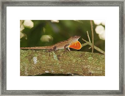 Brown Anole Splendor Framed Print by Lynda Dawson-Youngclaus