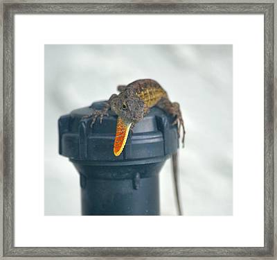 Brown Anole With Dewlap Framed Print by Richard Bryce and Family