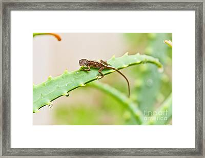 Brown Anoli Framed Print by Terry Cotton