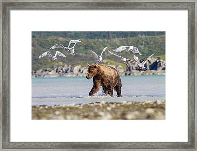 Brown Bear And Seagulls Framed Print by John Devries