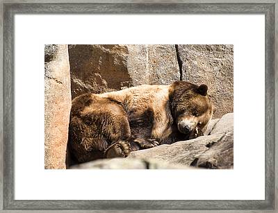Brown Bear Asleep Again Framed Print by Chris Flees
