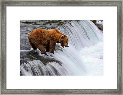 Brown Bear At Brooks Falls Framed Print by Naphat Photography