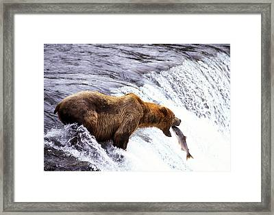 Brown Bear Catching Salmon Framed Print by Mark Newman