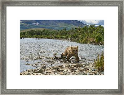 Brown Bear Cub Walking Up Stream Trying Keep Up With Mom Framed Print by Dan Friend