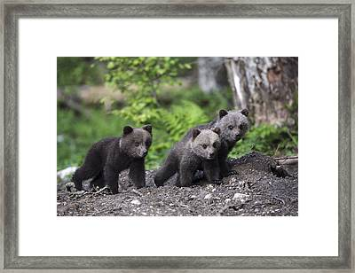 Brown Bear Cubs Croatia Framed Print