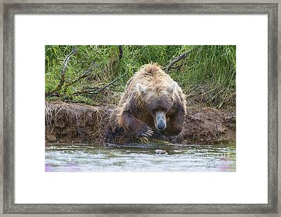 Brown Bear Diving Into The Water After The Salmon Framed Print by Dan Friend