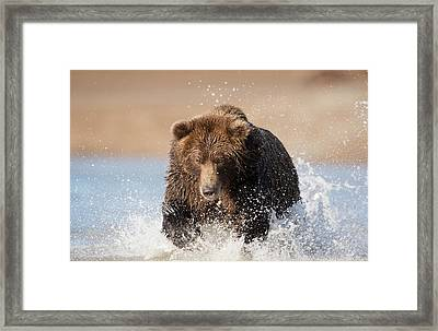 Brown Bear Framed Print by Dr P. Marazzi