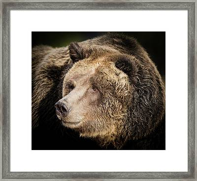 Brown Bear, Grizzly, Ursus Arctos, West Framed Print