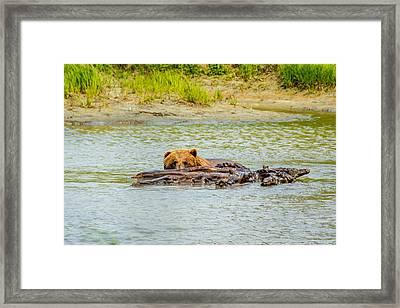 Brown Bear In Alaska Framed Print